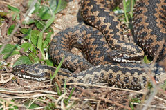Common European Adder (vipera berus). Two Common European Adders resting in the sun in its habitat Stock Photos