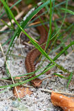 Common European Adder (vipera berus). Young Common European Adder hiding in its habitat Stock Images