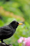 Common European Blackbird Stock Photos
