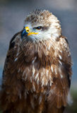 Common European Buzzard Royalty Free Stock Photos