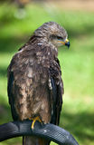 Common European Buzzard Royalty Free Stock Photo