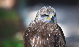 Common European Buzzard Stock Photography