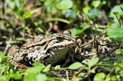 Common European Edible frog Royalty Free Stock Photo