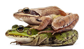 Common European frog or Edible Frog Royalty Free Stock Images