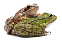 Common European frog or Edible Frog, Rana Royalty Free Stock Photography