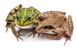 Common European frog or Edible Frog, Rana. Esculenta, and a Moor Frog, Rana arvalis, in front of white background Stock Image