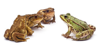 Common European frog or Edible Frog, Rana kl. Royalty Free Stock Image