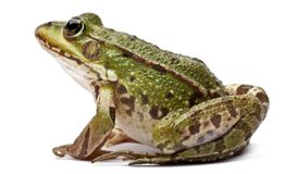 Common European frog or Edible Frog, Rana kl. Esculenta. In front of white background stock photography