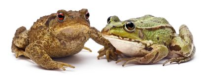 Common European frog or Edible Frog, Rana kl. Esculenta, next to common toad or European toad, Bufo bufo. In front of white background royalty free stock photography