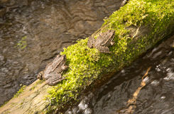 The common European green frog Royalty Free Stock Photos