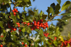 Common or European Holly. Holly Berries - Ilex aquifolium Berries & leaves with blue sky royalty free stock photography