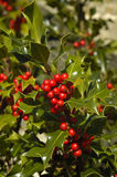 Common or European Holly Stock Photography