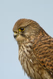 Common european Kestrel Stock Photos