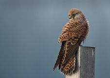 Common european Kestrel Stock Images