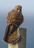 Common european Kestrel Stock Photo