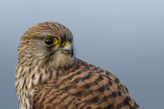 Common european Kestrel Royalty Free Stock Photography