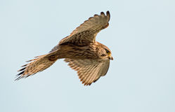 Common European Kestrel Royalty Free Stock Photo
