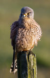 Common European Kestrel Royalty Free Stock Images