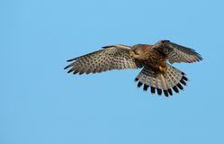 Common European Kestrel Stock Image