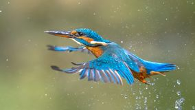 Common European Kingfisher Flying. Common European Kingfisher (Alcedo atthis). river kingfisher flying after emerging from water on green natural background royalty free stock photography