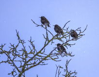 Common or european starling birds, sturnus vulgaris. Four common or european starling birds, sturnus vulgaris, on a tree by winter royalty free stock photos