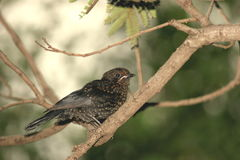 Common (European) Starling female. We saw this bird in the Kruger Park Stock Photo