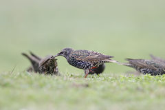 Common european starling. Looking for food in a northern portuguese green field Stock Photos
