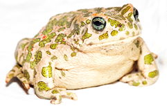 Common European Toad Stock Image