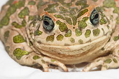 Common European Toad Royalty Free Stock Images