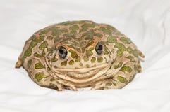Common European Toad Stock Photos