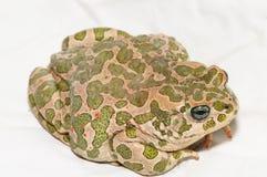 Common European Toad Royalty Free Stock Photos