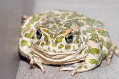Common European Toad Stock Photography