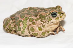 Common European Toad Stock Images