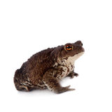 Common or European toad on white Royalty Free Stock Image
