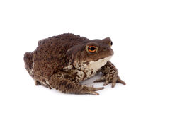 Common or European toad on white Royalty Free Stock Images