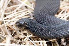 Common European Viper in April Stock Image