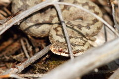 Common european viper hiding amongst twigs Royalty Free Stock Images
