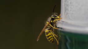Common european wasp (Vespula vulgaris) Stock Photography