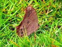 Common evening brown Butterfly Stock Image