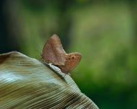 Common Evening Brown - melanitis leda butterflies , mating Royalty Free Stock Photo