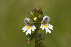 Common Eyebright Stock Photo