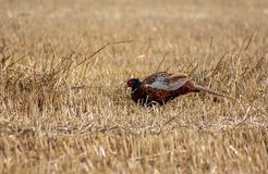The common faggian The original biotope of the species is the hilly countryside of central-eastern Asia; the Common Pheasant has f