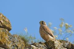 Common falcon Stock Photo