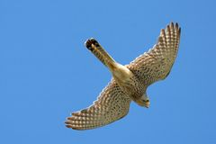 Common falcon Royalty Free Stock Image