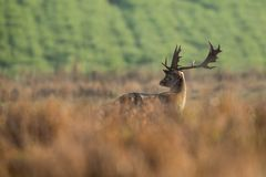 Fallow deer, Dama dama. Common fallow in forest and meadow scenery royalty free stock photos