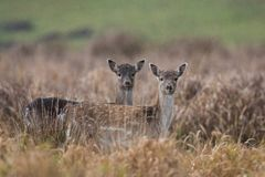 Fallow deer, Dama dama. Common fallow in forest and meadow scenery royalty free stock photo