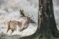 Fallow deer, Dama dama. Common fallow in forest and meadow scenery stock photography