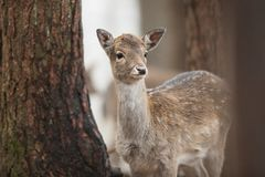 Fallow deer, Dama dama. Common fallow in forest and meadow scenery stock images
