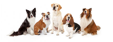 Common Family Dog Breeds Group Royalty Free Stock Photos