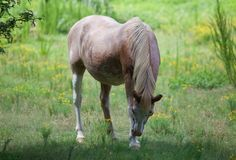 Horse in a field of yellow flowers. Stock Photography